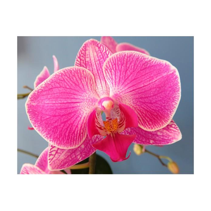 Раскраска по номерам Орхидея фаленопсис / Цветы / Каталог